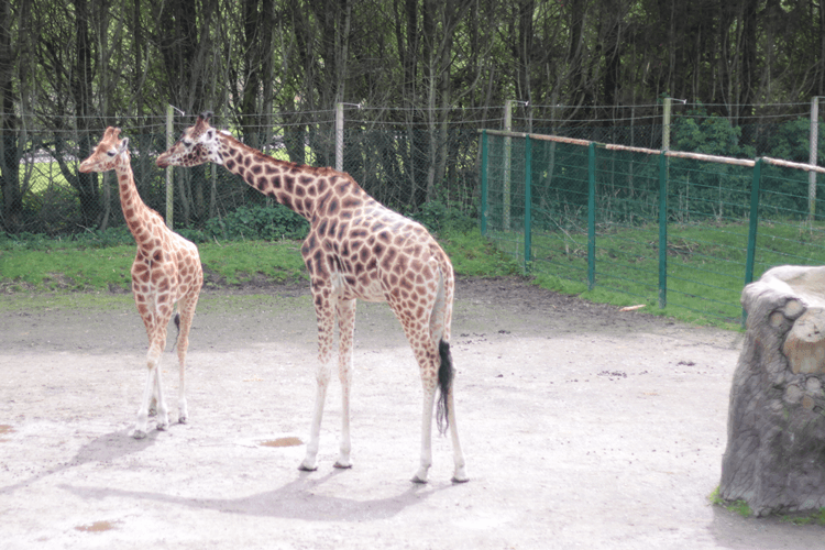 Two giraffes in a zoo